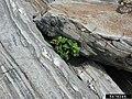 Rosa rugosa plant (104).jpg