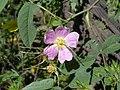 Rosa villosa inflorescence (05).jpg