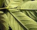 Rosa villosa leaf (08).jpg