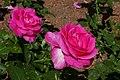Rosarium Baden Rosa 'Caprice de Meilland' Meilland 1999 02.jpg