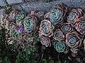 Rosas de huerto.JPG