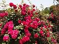 Rose,Tess of the d'Urbervilles,バラ,テス オブ ザ ダーバーヴィルズ, (8154308838).jpg