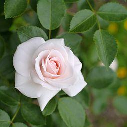 Rose, Aspirin Rose, バラ, アスピリン ローズ, (15703533438).jpg