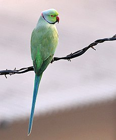 Rose-ringed Parakeet (Male) I IMG 9141.jpg