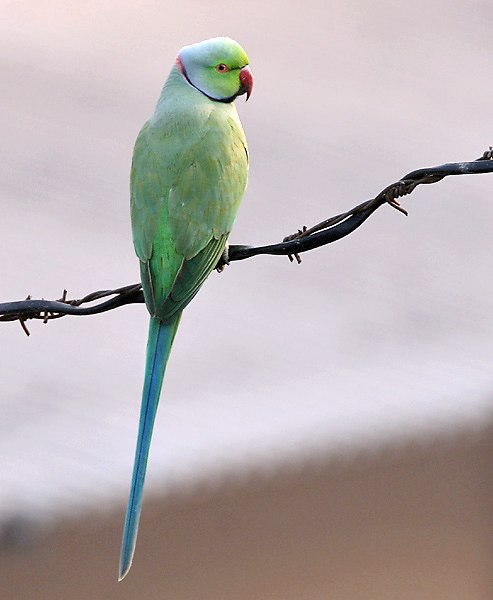 Rose-ringed Parakeet (Male) I IMG 9141