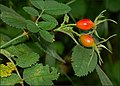 Rose hips - geograph.org.uk - 548025.jpg