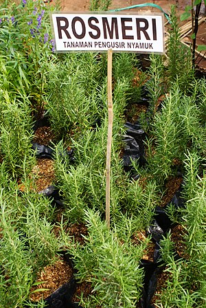 English: Rosemary (Rosmarinus officinalis) is ...