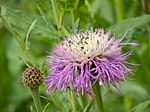Rothrock's knapweed 10-58-31 (43692992632).jpg