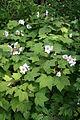 Rubus parviflorus.JPG