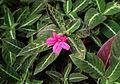 Ruellia makoyana kz2.jpg