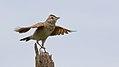 Rufous-naped Lark, Mirafra africana at Savuti, Chobe National Park, Botswana (33091413514).jpg
