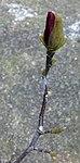 Ruhland, Grenzstr. 3, Purpur-Magnolie vor dem Haus, Zweig mit Blütenknospe und Blattknospen, Frühling, 01.jpg