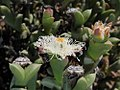 Ruschia sp.? (Aizoaceae) (4087572674).jpg