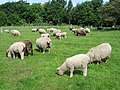 Ryeland Sheep, Rice Lane City Farm - geograph.org.uk - 1116636.jpg