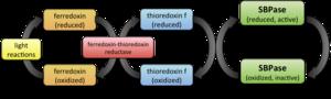 Sedoheptulose-bisphosphatase
