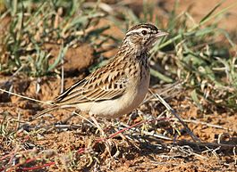 Sabota lark, Calendulauda sabota, at Mapungubwe National Park, Limpopo, South Africa (18126532598).jpg