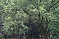Salix rosthornii, Hangzhou Botanical Garden 2018.06.03 15-38-12.jpg