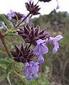 Salvia brandegeei.jpg