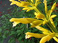Salvia madrensis 'Yellow Majesty'1.jpg