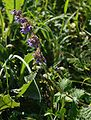 Salvia verticillata 1.jpg