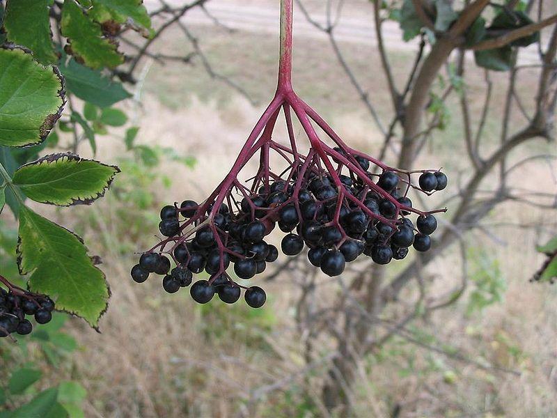 File:Sambucus nigra2.jpg