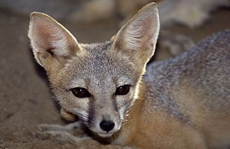 Kit fox - San Joaquin kit fox at the California Living Museum in Bakersfield