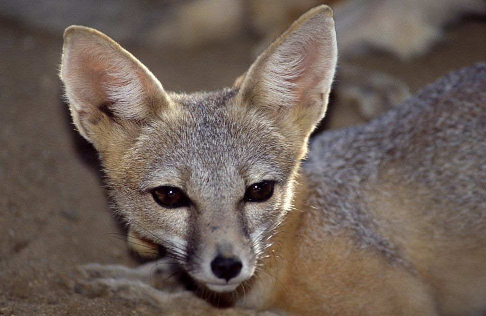 San Joaquin Kit fox B-40-13 08 20 1993