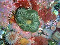 Sandy anemone and Strawberry anemones at Star Wall PC288827.JPG