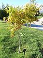 Sapindus mukorossi - Jardín Botánico de Barcelona - Barcelona, Spain - DSC09267.JPG