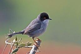Sardinian Warbler.jpg