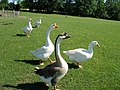 Sasha Farm Sanctuary Geese.jpg