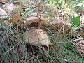 Sasso Pisano (PI) Gruppo di porcini.jpg