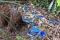 Satin Bowerbird Bower - Flickr - gailhampshire.jpg