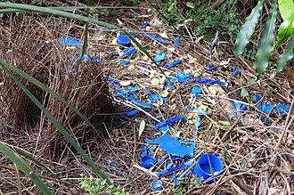 Courtship display - A bower, created by a male satin bowerbird, used to attract potential mates.