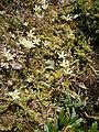 Saxifraga bryoides 01.jpg