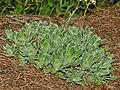 Saxifragaceae - Saxifraga paniculata-2 (8303619313).jpg