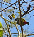Scaly-headed Parrot (Pionus maximiliani) (31662534381).jpg
