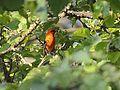 Scarlet Tanager (7238720190).jpg