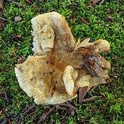 Scherpe kamrussula (Russula amoenolens) (d.j.b.) 02.jpg