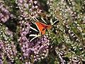 """Schmetterling """"Russischer Bär"""", Euplagia quadripunctaria.jpg"""
