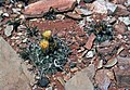Sclerocactus wrightiae fh 69 7 UT B.jpg