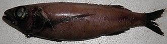 Longfin escolar - Image: Scombrolabrax heterolepis India