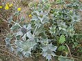 Sea Holly. - geograph.org.uk - 1278949.jpg