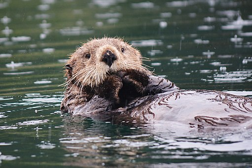 Sea Otter. Little Tutka Bay, Alaska