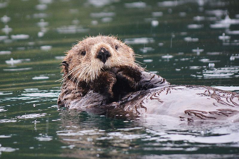 File:Sea Otter. Little Tutka Bay, Alaska.jpg