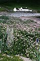 Sea Rocket (Cakile maritima) on Norwick beach - geograph.org.uk - 716970.jpg