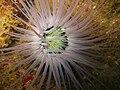 Sea anemone, Kapas Island, Malaysia.jpg
