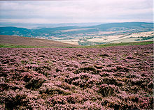 Ground cover purple coloured plants, with hills in the background on Exmoor which is common land.