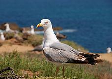 Seagull July 2008-6.jpg