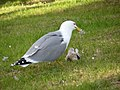 Seagull eating a pigeon.jpg